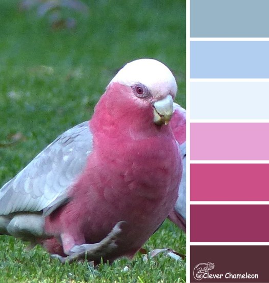Silly Galah color scheme from Clever Chameleon