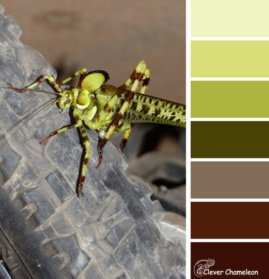 Superb Katydid colour board at Clever Chameleon