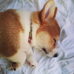 11 More Myths About Hazel the Corgi!