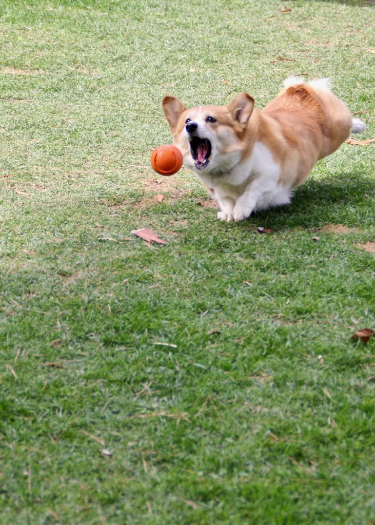 11 More Myths About Hazel the Corgi