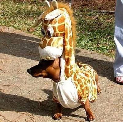 cachorro fantasiado07