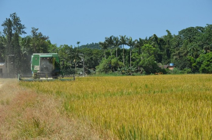 Camboriú inicia safra do arroz com expectativa de gerar R 45 milhões para famílias produtoras