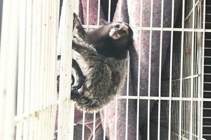 Famai encaminha macaco ao Centro de Triagens de Animais Silvestres
