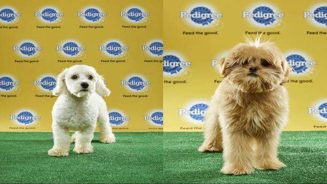 Toy Poodle Breeders Central Florida Wow Blog