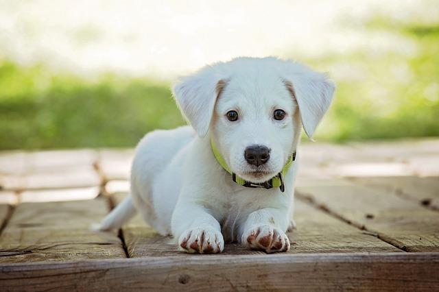 puppy vaccines