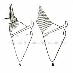 Levator scapulæ muscle