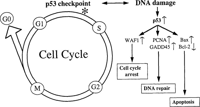 Interactions between cytomegalovirus and the p53 tumor