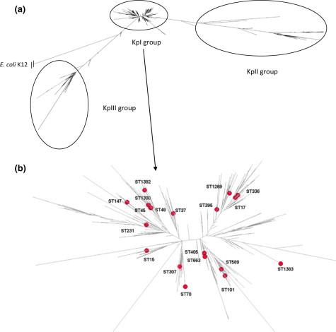 Molecular epidemiology of OXA-48-producing Klebsiella
