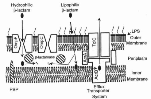 Crossing the envelope: how cephalosporins reach their