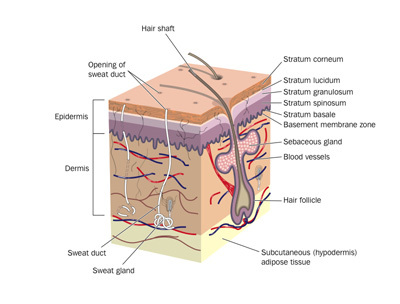 7 layers of skin diagram allis chalmers c wiring structure and function the wound care education clinimed
