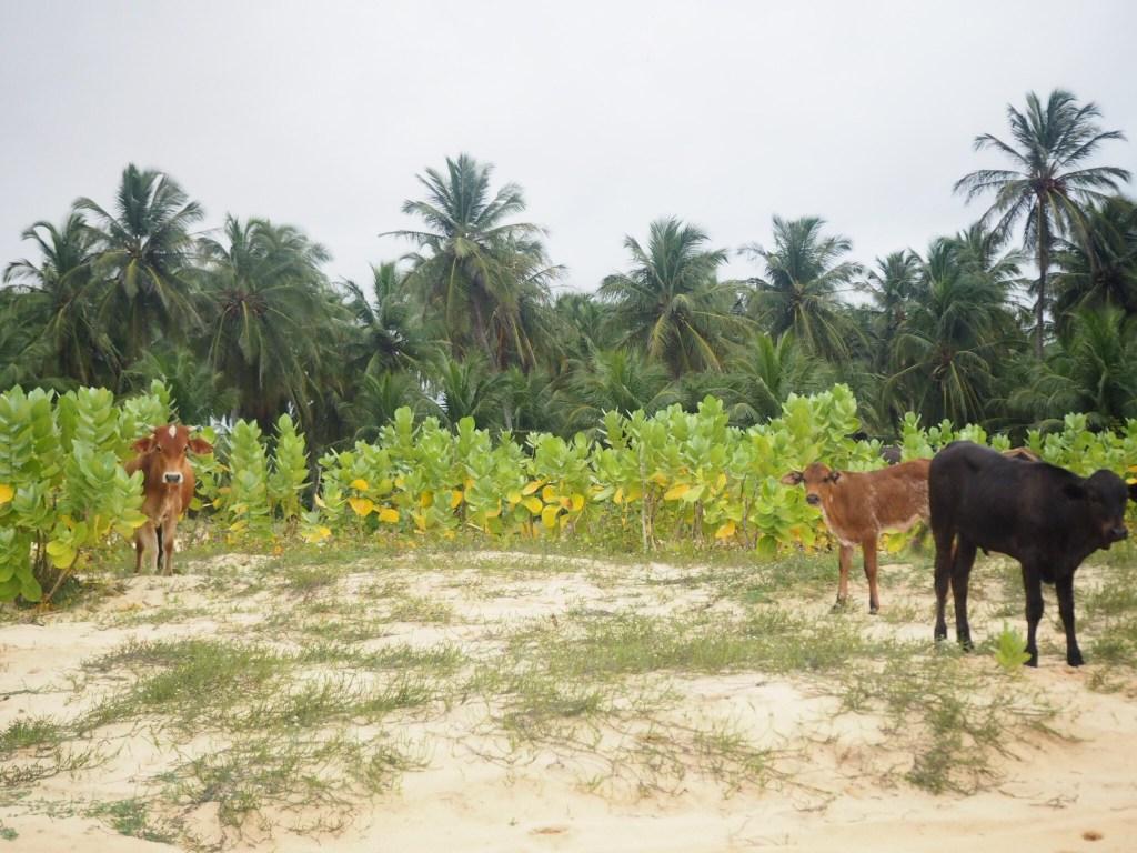 Vaches à Jericoacoara au Brésil