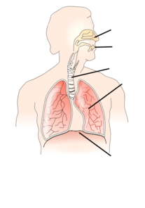 Simple Diagram Of Human Lungs Blank Lung Diagram Clipart Best