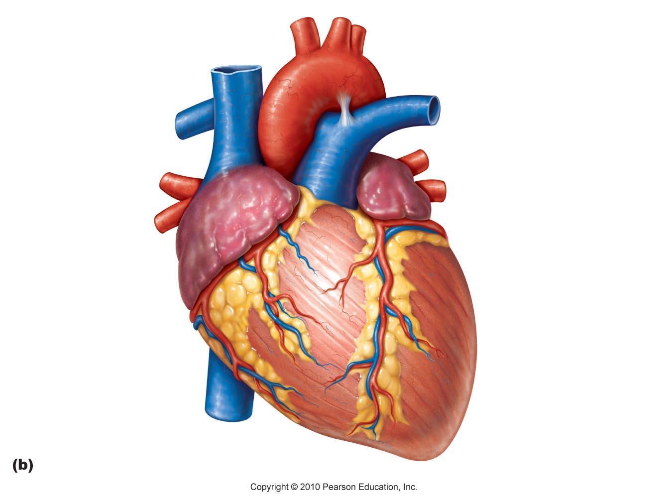 Human Heart Unlabeled