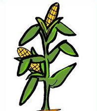 cartoon corn stalk - clipart