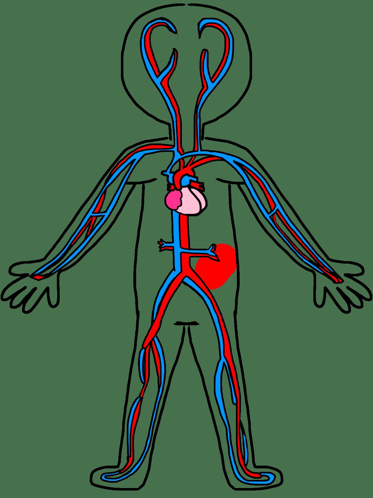 Human Body Diagram Clipart