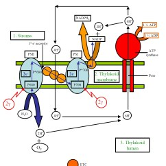 Palisade Cell Diagram Plant Shear And Moment Problems Labeled Clipart Best