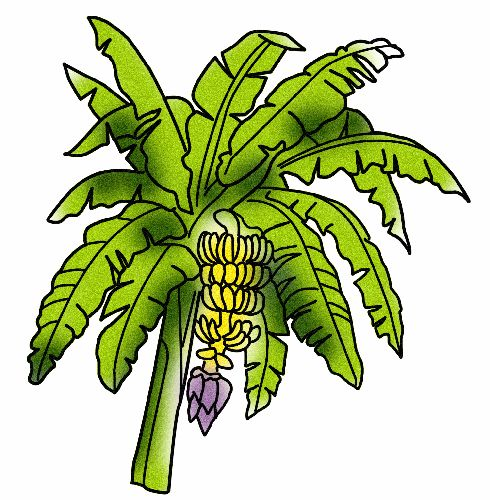 Banana Tree Drawing  ClipArt Best
