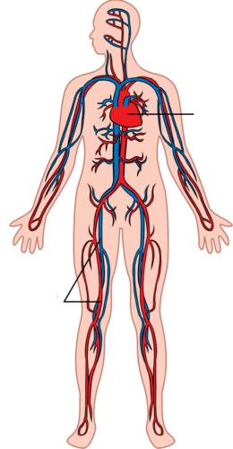 human respiratory system diagram labeled 2006 honda civic audio wiring circulatory not - clipart best