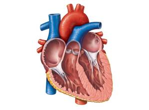 Unlabeled Heart  ClipArt Best