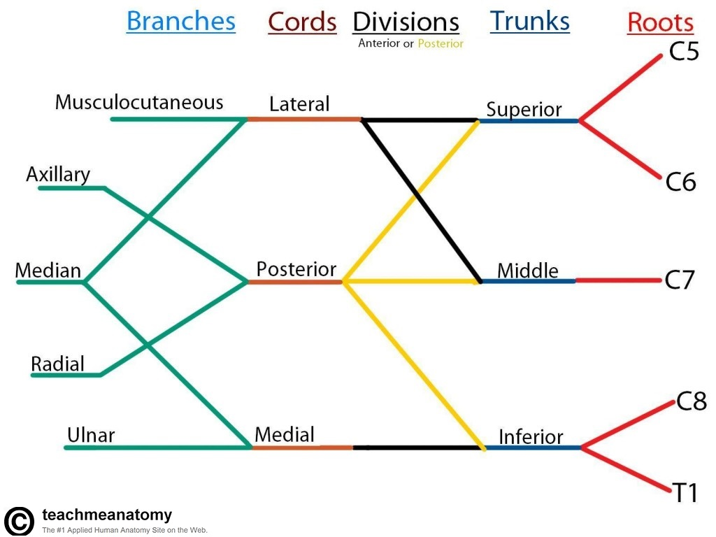 Nerve Cell Diagram Labeled