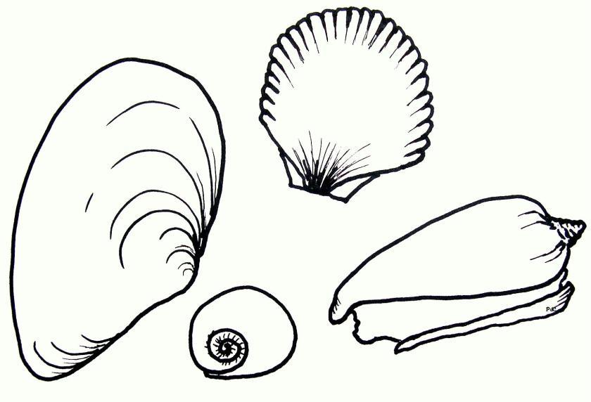 drawing seashells  clipart best