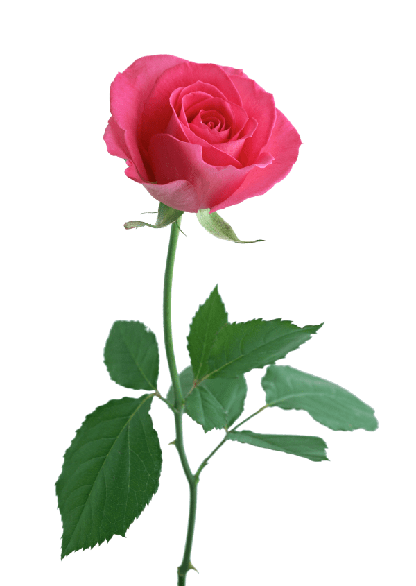 Single Long Stem Rose