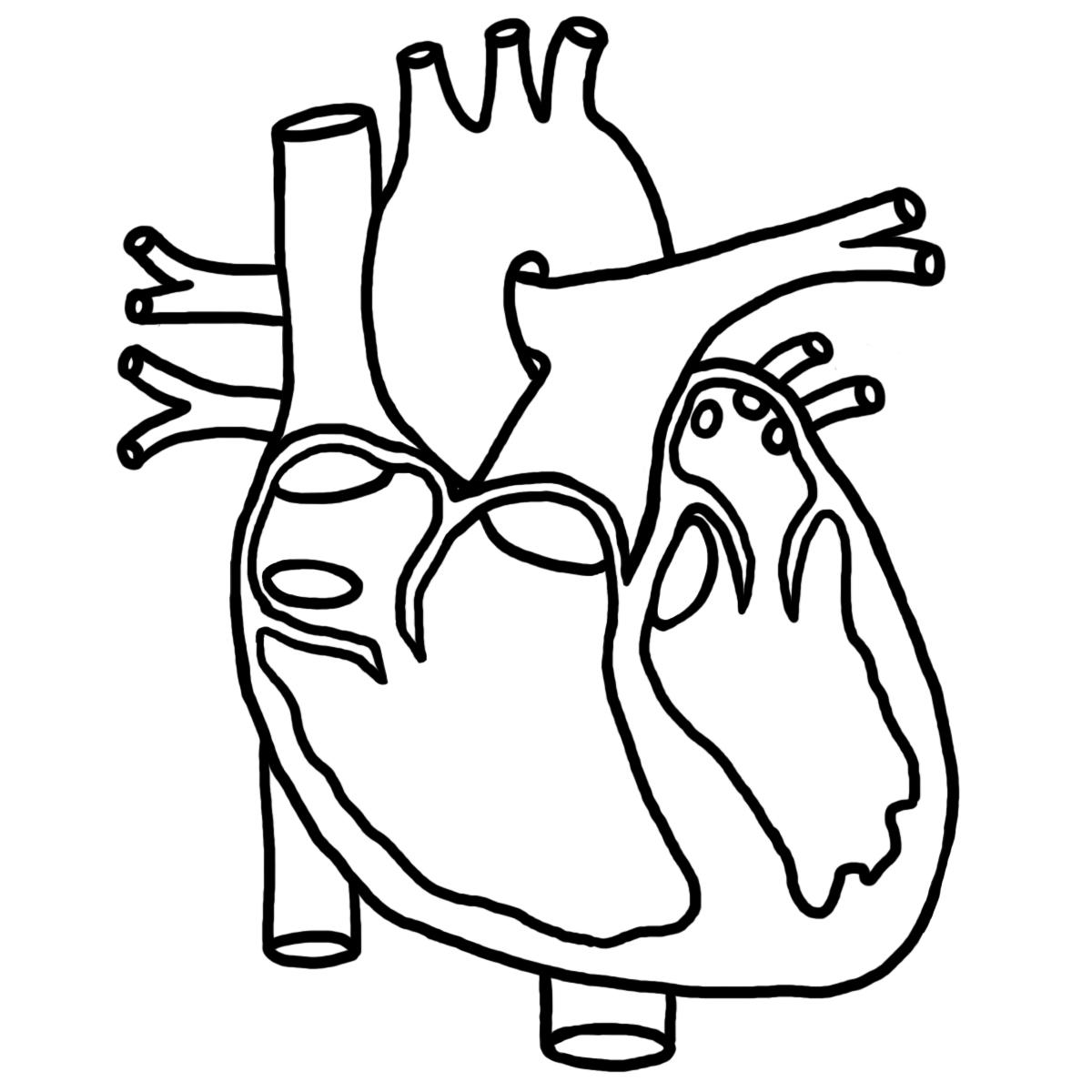 simple heart diagram clipart best