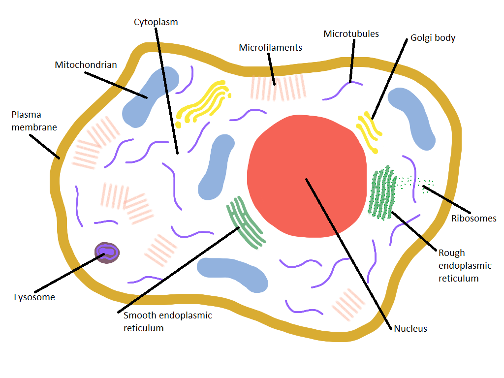 Labeled Animal Cell Diagram For Kids