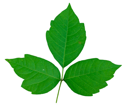ivy leaves - clipart