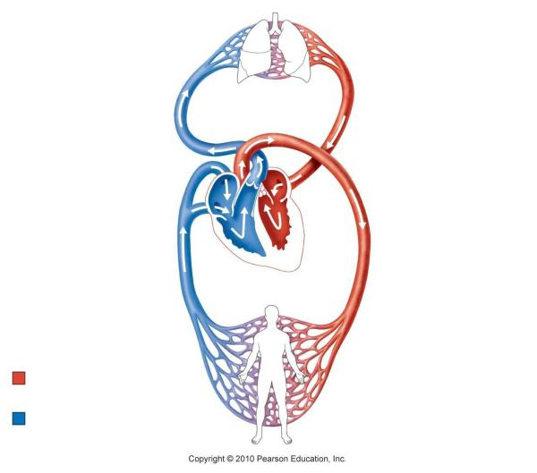 Circulatory System Diagram Unlabeled - Clipart