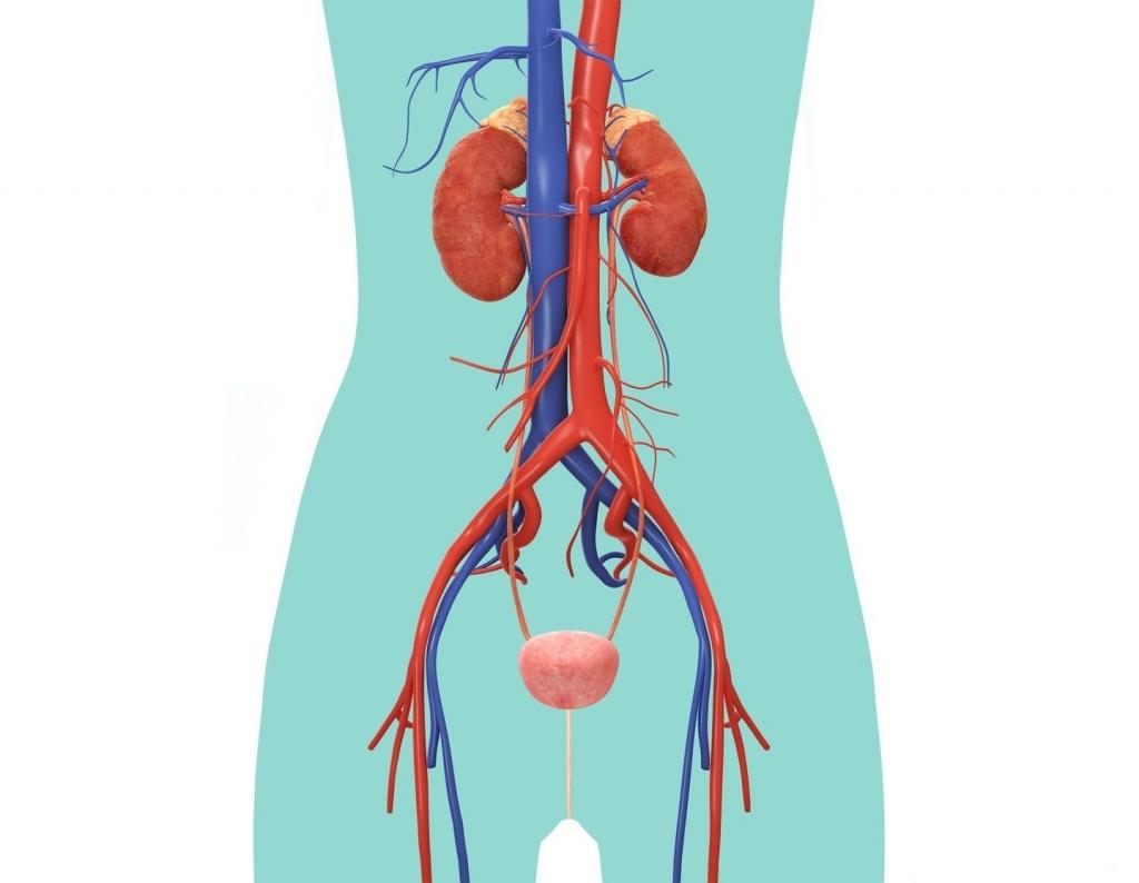 excretory system diagram basic light microscope worksheet female reproductive blank clipart best