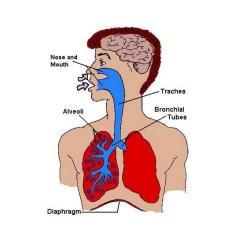 Lungs Human Anatomy Diagram Wiring Light Symbol Internal Organs Clipart Best