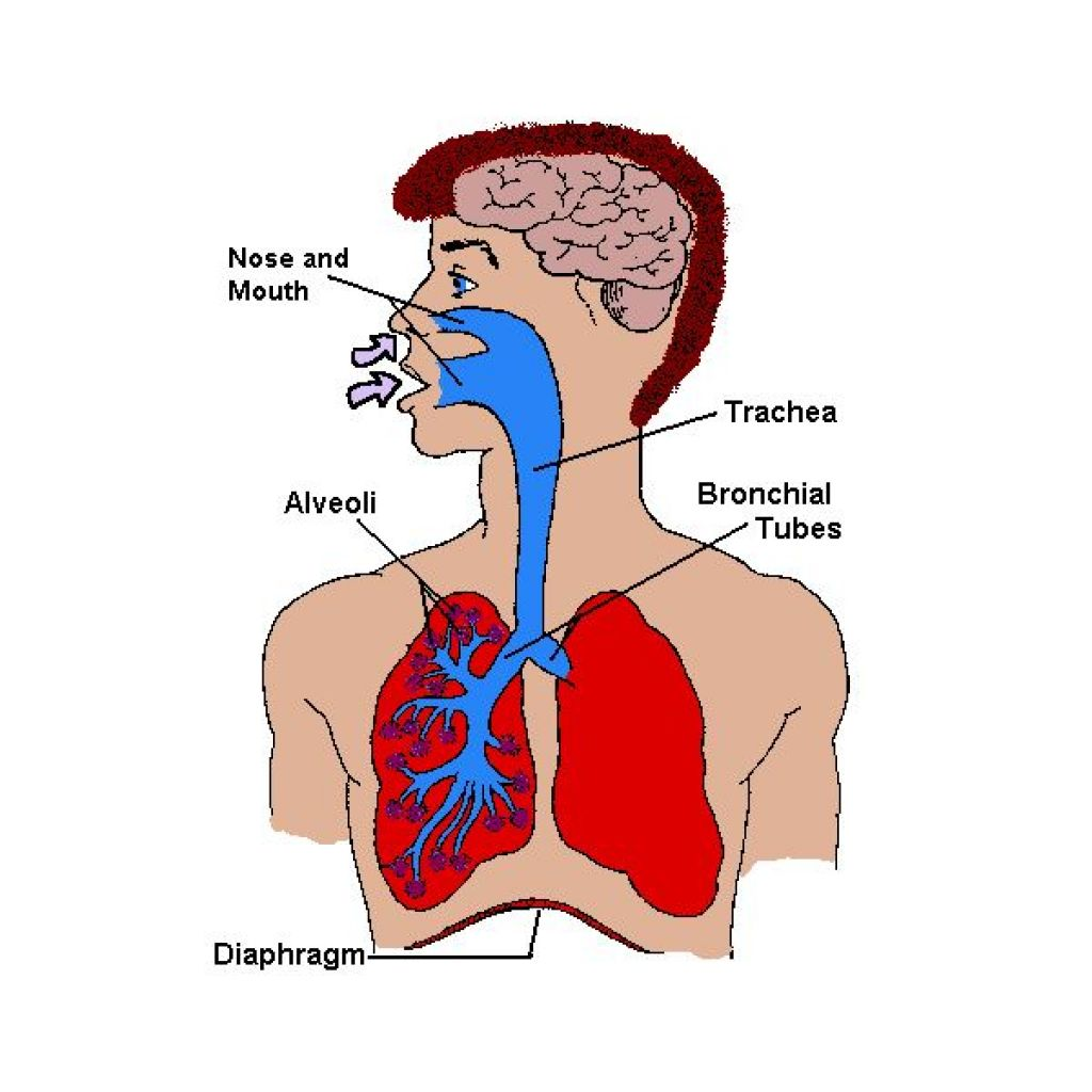 Lung Pictures For Kids
