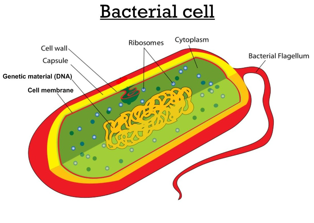 microbiology prokaryotic cell diagram labeled residential thermostat wiring of a animal clipart best