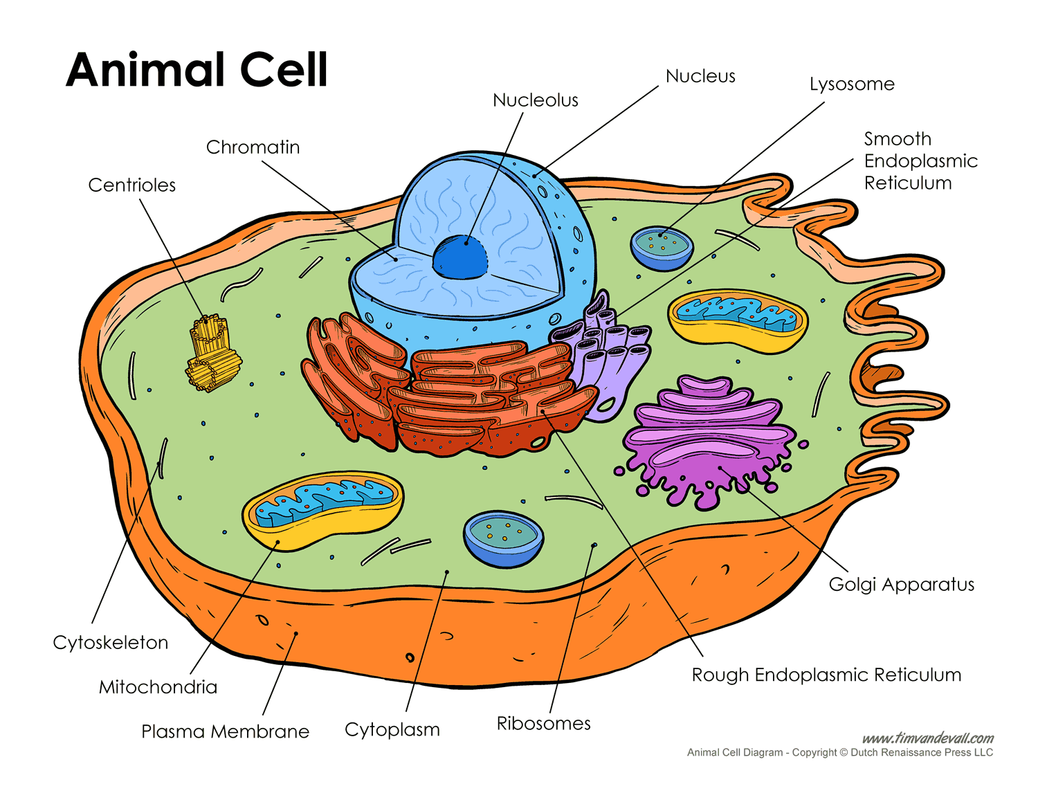 Printable Animal Cell Diagram Labeled Unlabeled And