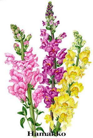 snapdragon flower tattoo - clipart
