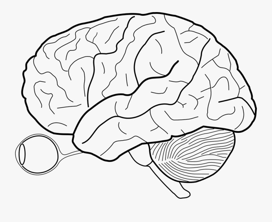 Brain, Diagram, Anatomy, Biology, Structure, Medicine