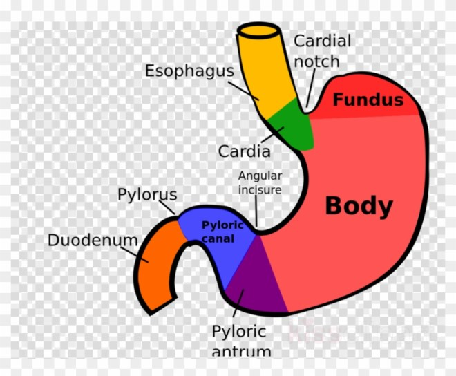 Structure Stomach Clipart Stomach Anatomy Human Digestive ...