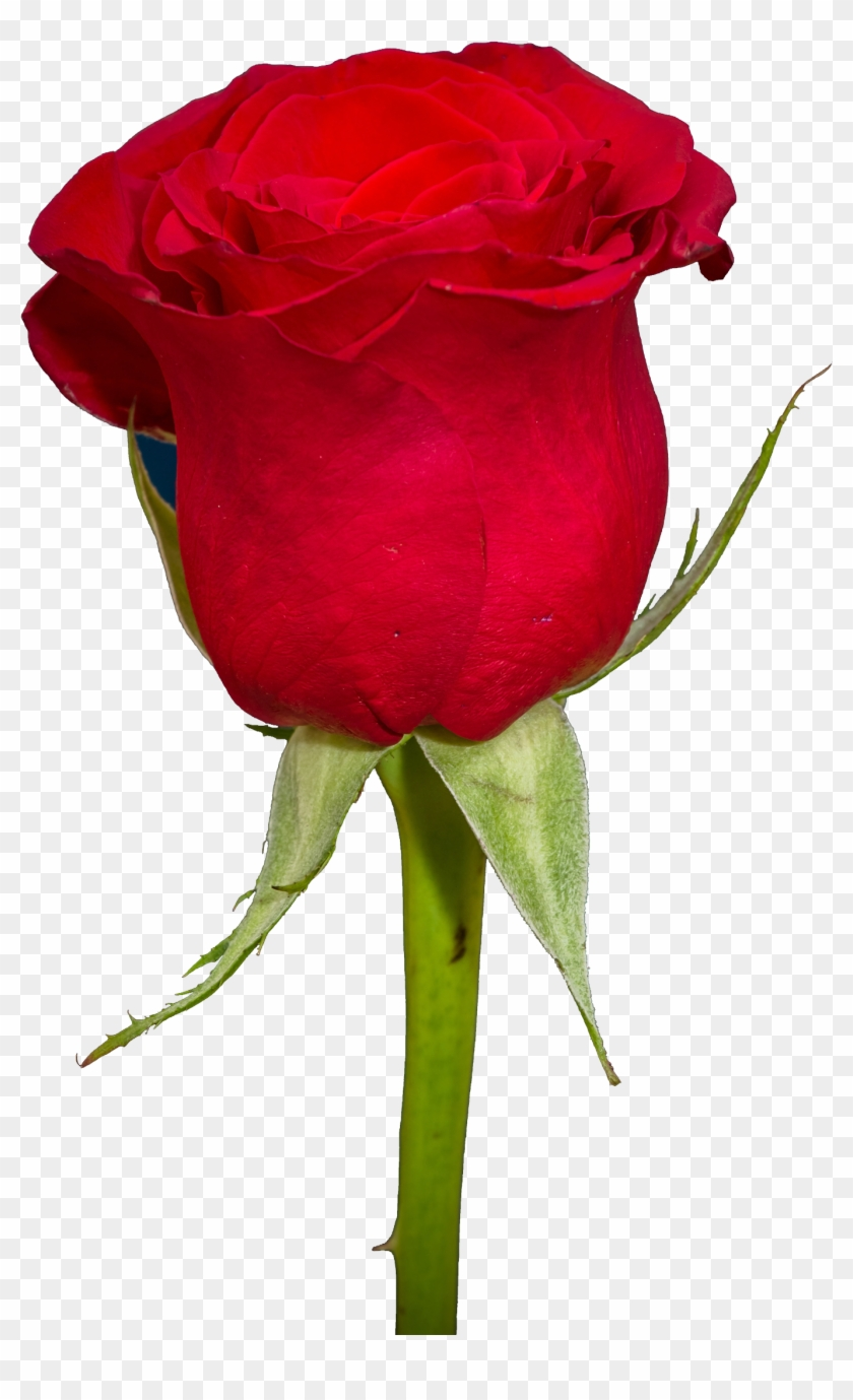 free rose png transparent