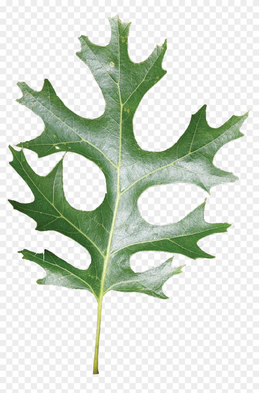 hight resolution of simple shumard red oak leaf