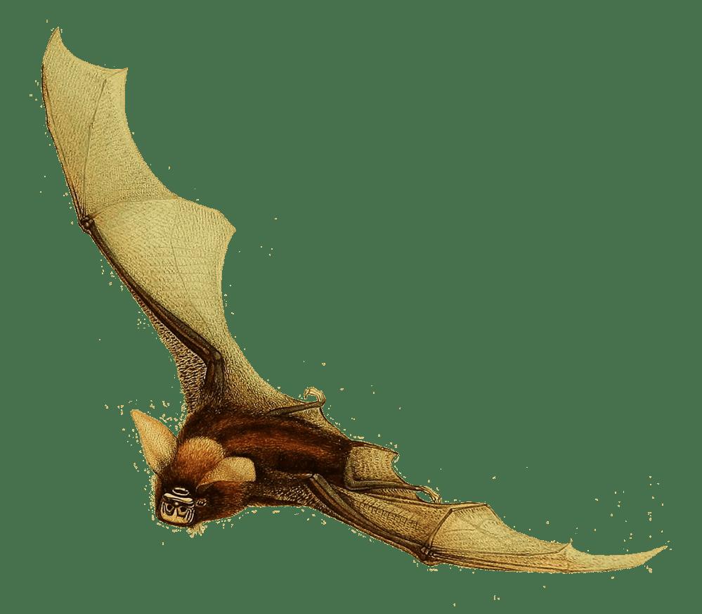 medium resolution of timor bat clipart