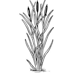 Cattail clipart, cliparts of Cattail free download (wmf