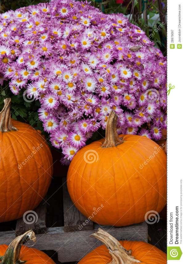mums and pumpkins royalty free