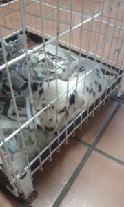 cachorro dalmata hospitalizado
