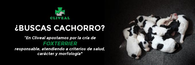 CABECERA CACHORROS FOXTERRIER