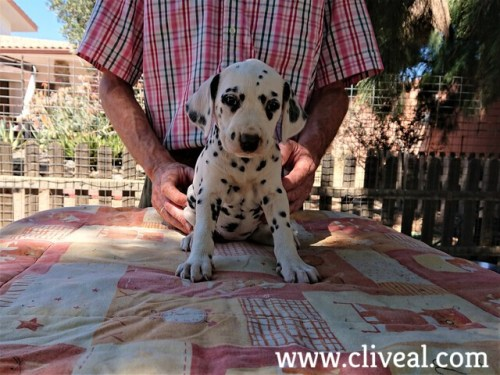 cachorra dalmata anaphora de cliveal frente