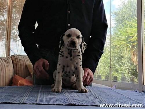 vesta de cliveal cachorro dalmata