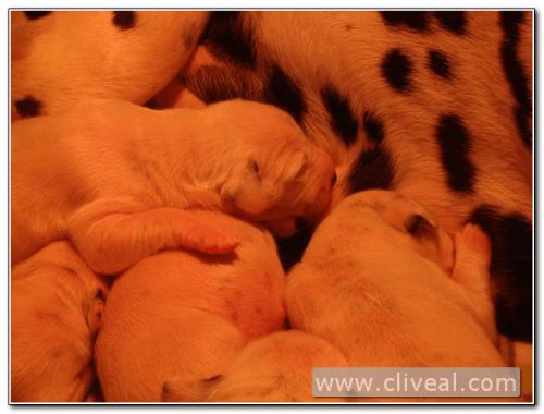 bebés de dálmata mamando