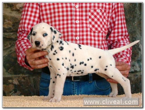 cachorra dálmata alealudere de cliveal 1