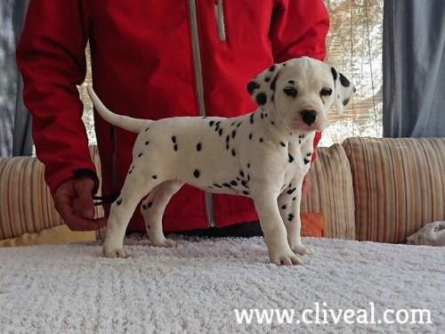 cachorra dalmata cassandra de cliveal 1